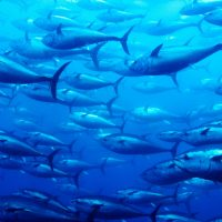 School of bluefin tuna