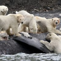 Polar bears scavenge on the carcass of a dead bowhead whale that washed ashore on Wrangel Island in Chukotka, Russia.Chris Collins/Heritage Expeditions