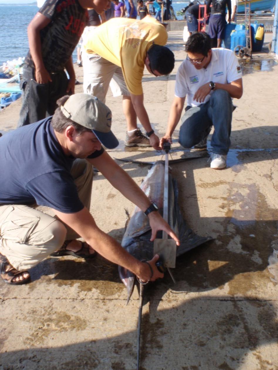 Sampling marlin catches in artisanal fisheries; El Salvador, 2013.
