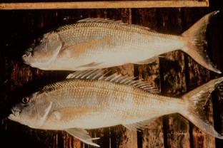 Opakapaka (Pristipomoides filamentosus), a pricey Hawaiian bottomfish.