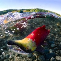 A spawning sockeye salmon looking at the camera underwater