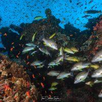 Fish swim along the Great Barrier Reef in Australia.