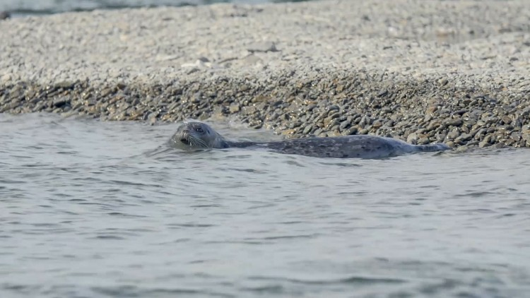 One of the Iliamna Lake seals seen just off a gravel beach on the east end of the lake, the seals' primary habitat.