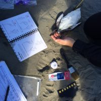 COASST citizen science volunteers identifying a seabird carcass in Ocean Shores, Washington.