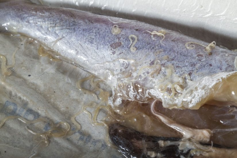 Anisakis worms in blue whiting fish.