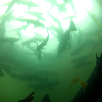 school of salmon underwater