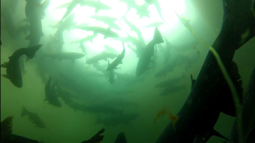 school of salmon underwater