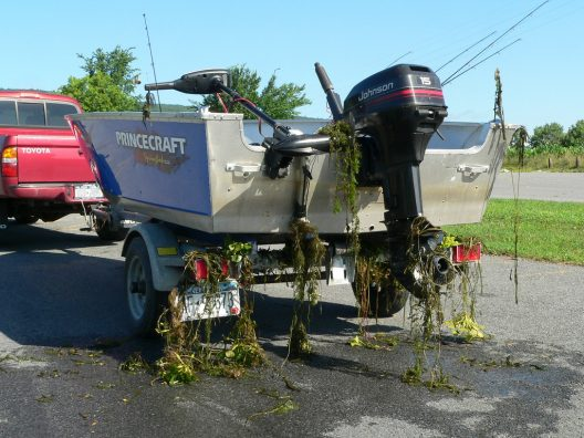 Invasive Eurasian milfoil entangled on a boat and trailer.NYS Department of Environmental Conservation