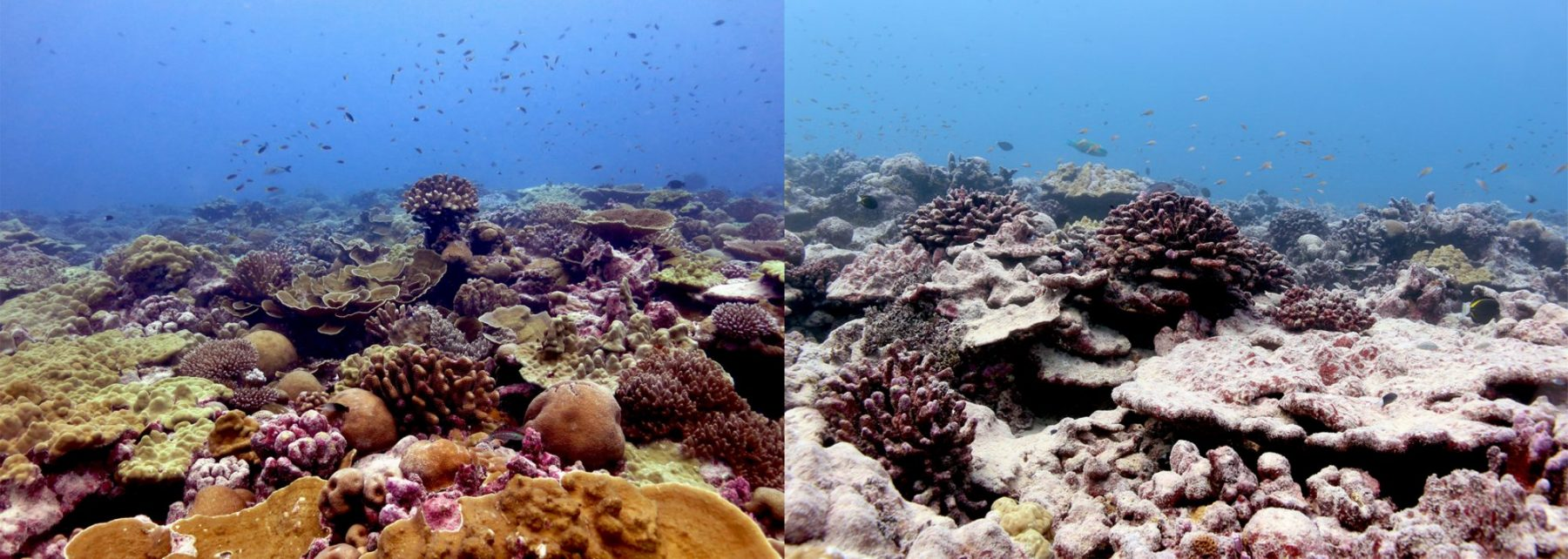 A coral reef site on Kiritimati before and after the 2015-16 marine heatwave