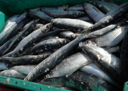 A container full of recently caught herring fish.