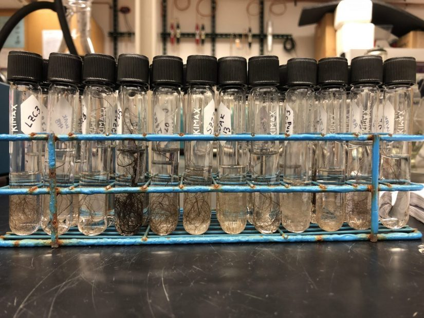 Samples of bear hair in vials