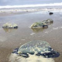 "Velella velella, also called ""by-the-wind sailor"" jellies, that washed ashore at Moolack Beach, Oregon"