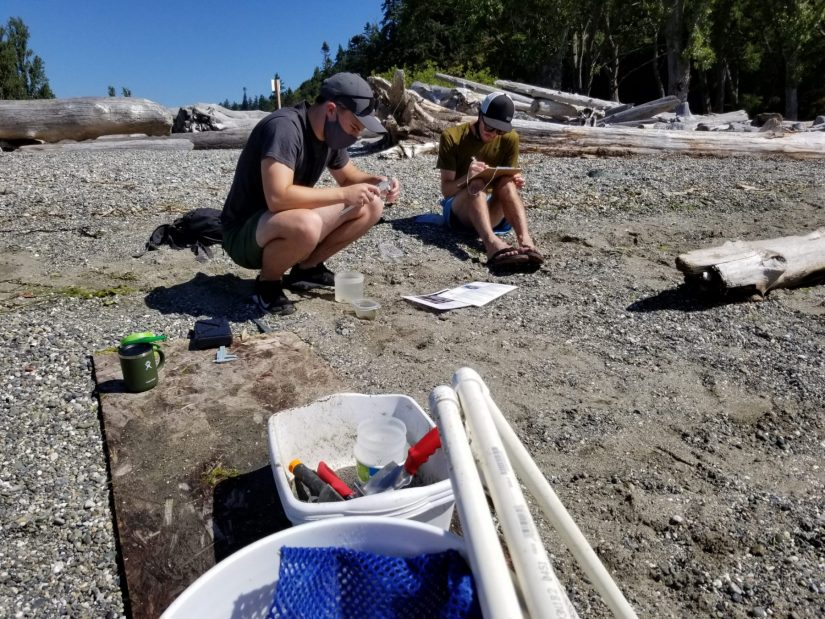 Josef counting and measuring the size of crabs with the Stillaguamish Tribe's Department of Natural Resources.