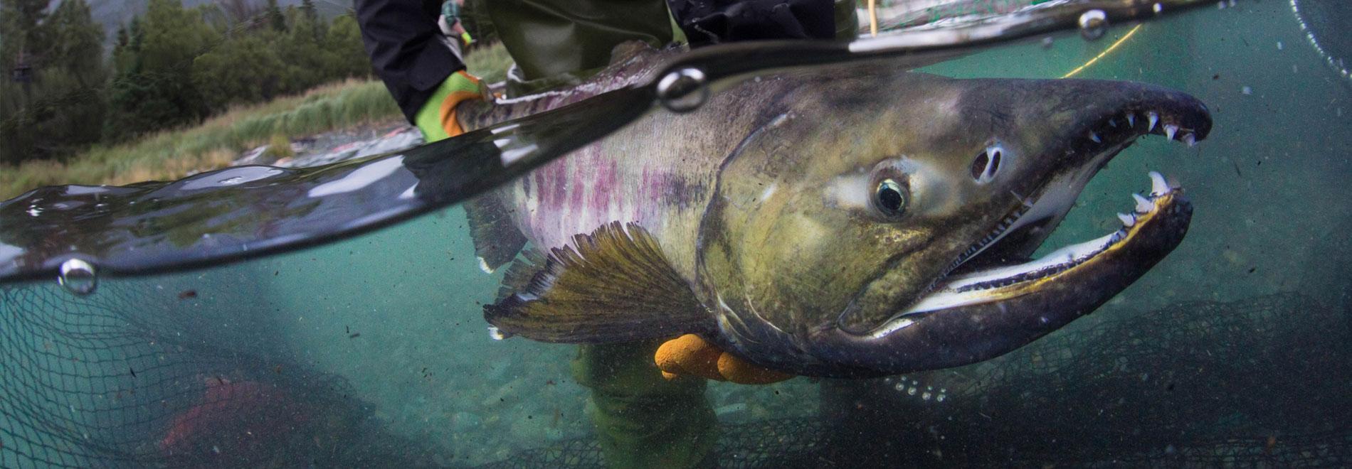 Salmon Held