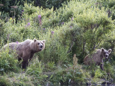Grizzly bear sow and cub fishing for salmon.