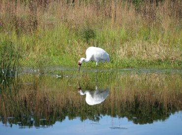 Photo of Whooping Crane