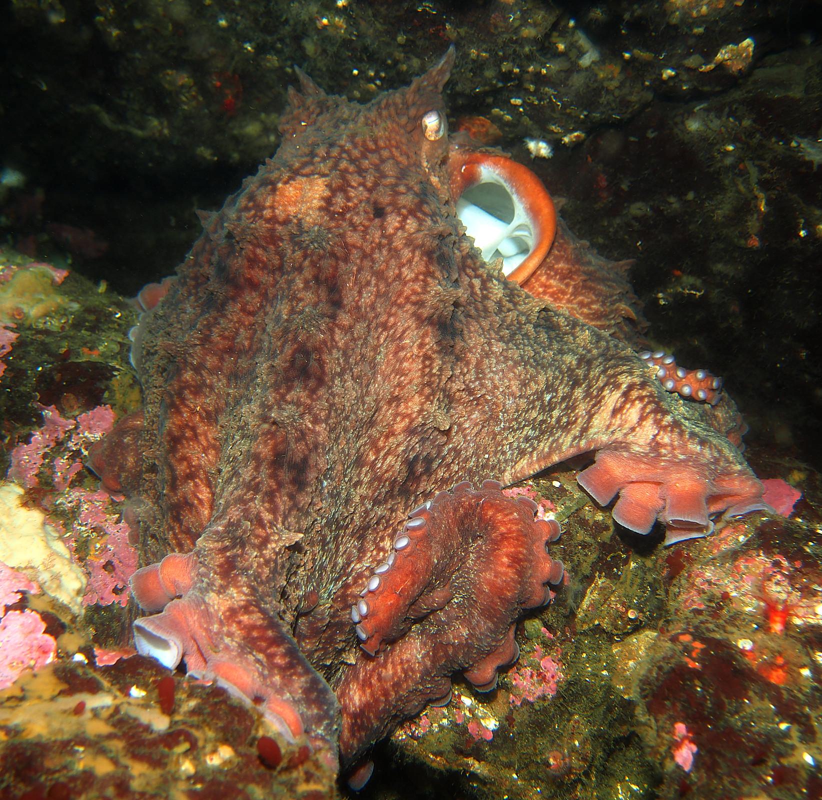 Giant Pacific Octopus underwater