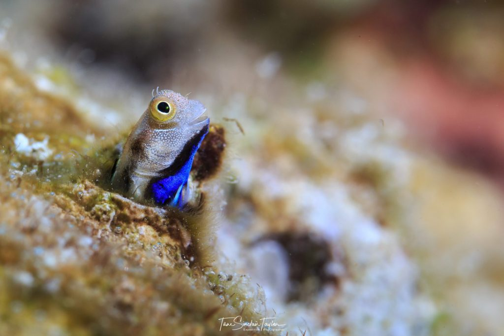 This colorful bluebelly blenny fish scans its surroundings with its head sticking out of its hole.