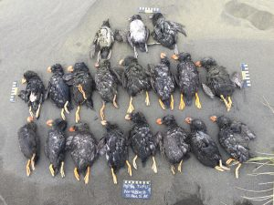 Recently COASST helped pinpoint a major die-off of puffins in fall 2016 along the Alaskan coast. The timing and location of carcasses found by volunteers suggested that the mass strandings might have been caused by unusual ocean conditions.
