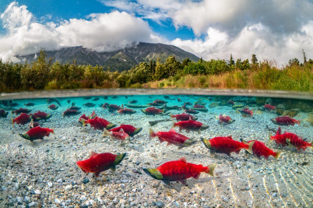 red salmon in a lake in Alaska