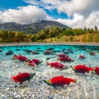 red salmon in a lake in Alaska